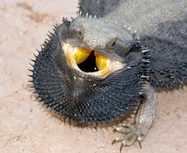 Frill Necked Lizard New Photos 2013 | Funny Images Show