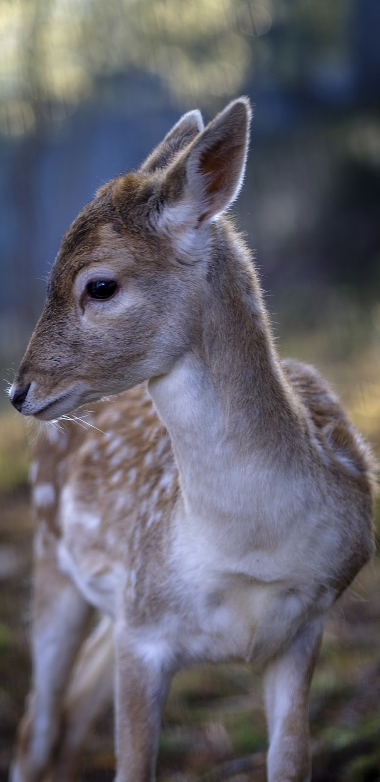 Picture of a fawn deer.