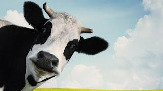 sapi perah penghasil susu