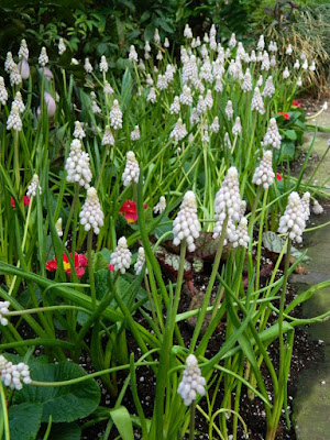 Muscari armeniacum Valerie Finnis at the Allan Gardens Conservatory 2018 Spring Flower Show by garden muses-not another Toronto gardening blog