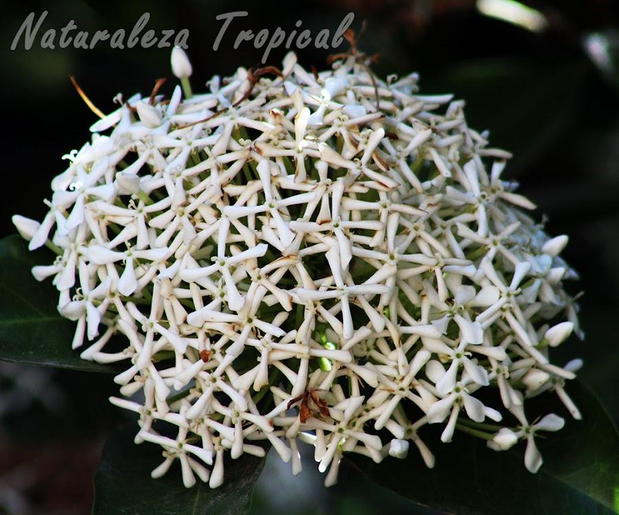 Inflorescencia de la planta Corona de Novia o Ixora Blanca, Ixora finlaysoniana