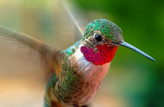 Multicolored Hummingbird carrying all shades of colors with her. Any painter here who want some color hues?