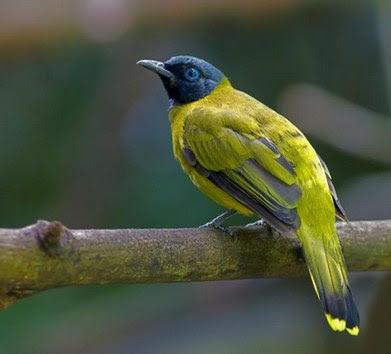 Mengenal Dekat Habitat Dan Sarang Burung Cucak Kurincang Di Alam Liar