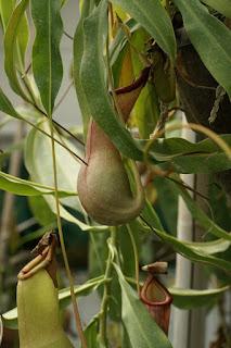 Nepenthes × ventrata - N. × ventrata - N. alata X N. ventricosa