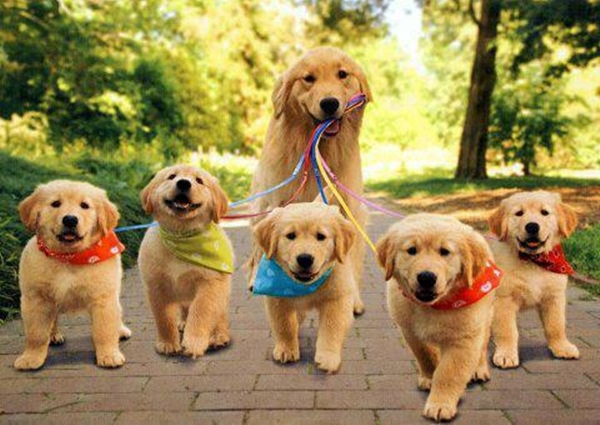 Yorkshire cães
