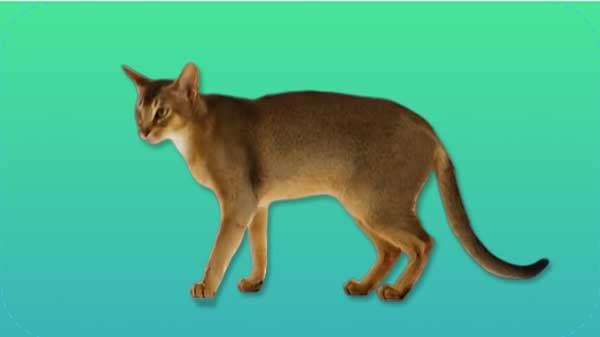 Ethiopian cat, Abyssinian