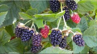 gambar buah olallieberry