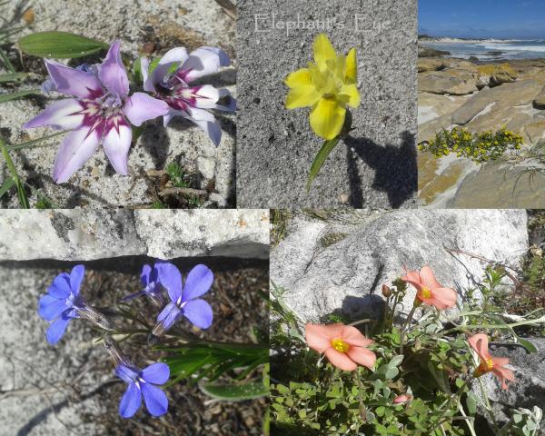 Babiana, Moraea, daisy, Lobelia, Oxalis