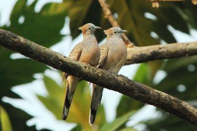 Pengetahuan Tentang Burung Perkutut