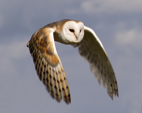 Barn Owl | Animal Wildlife