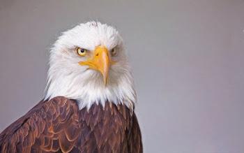Wallpaper Bald Eagle Portrait