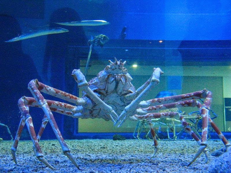 Giant spider crab at Osaka Aquarium,Osaka,Japan