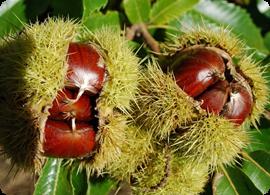 Árbol mágico: el castaño