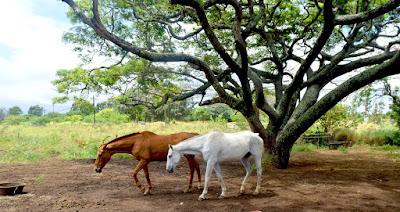 I cowboy non lo dicono cavalli hawaii paniolo