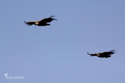 Buitres leonados (Gyps fulvus) en vuelo.