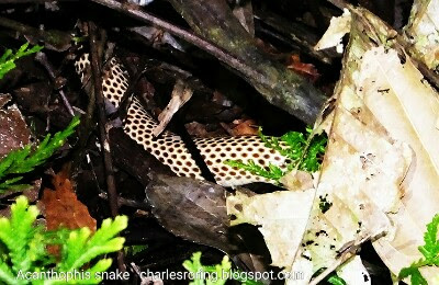 This New Guinea small eyed white snake lives in Susnguakti forest of Manokwari city.