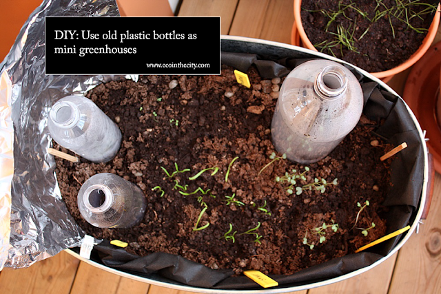 Reuse old plastic bottles as mini greenhouses for your vegetable seedlings