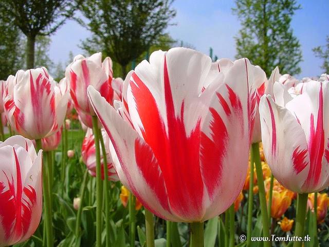 Foto Gambar Bunga Tulip Marble