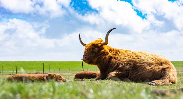Schottlandrinder auf Langeoog