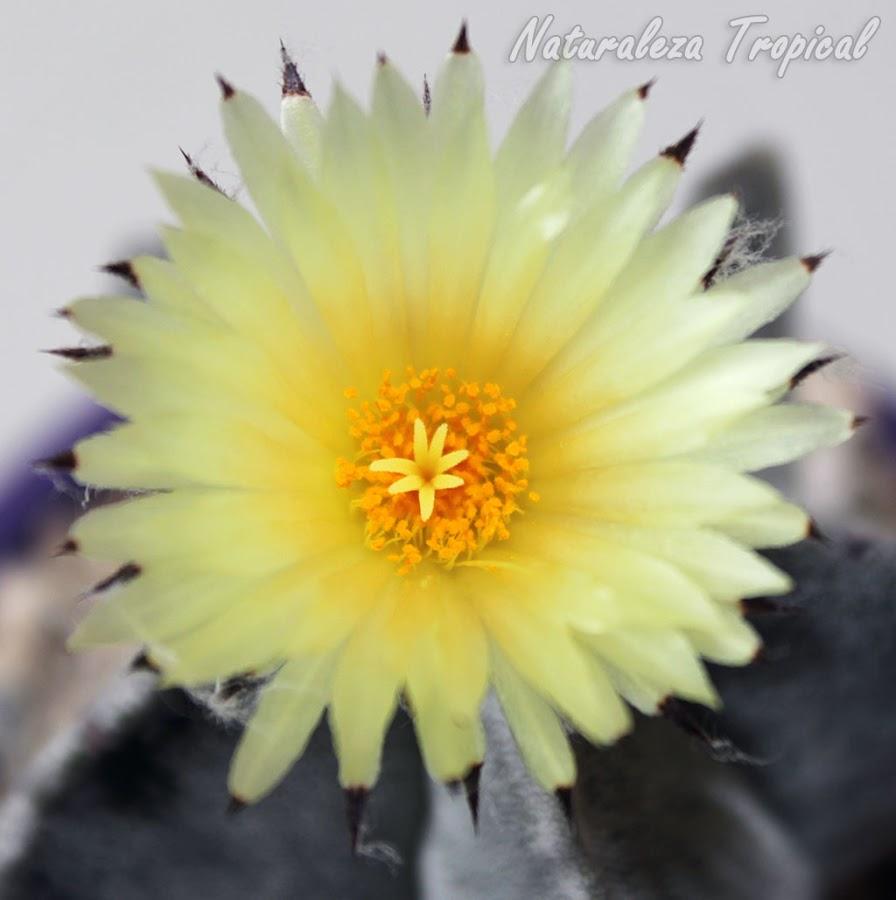 Vista superior de la flor del cactus Bonete de Obispo, Astrophytum myriostigma