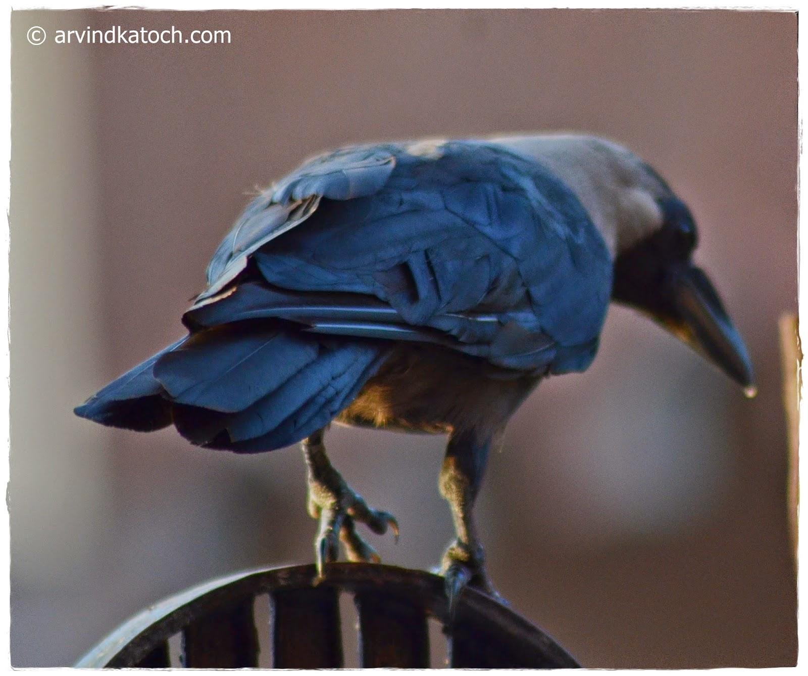 Crow, Crow Tail,