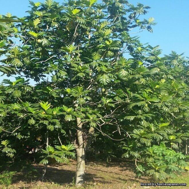 Pokok Sukun, Cara Menanam Dan Kegunaannya