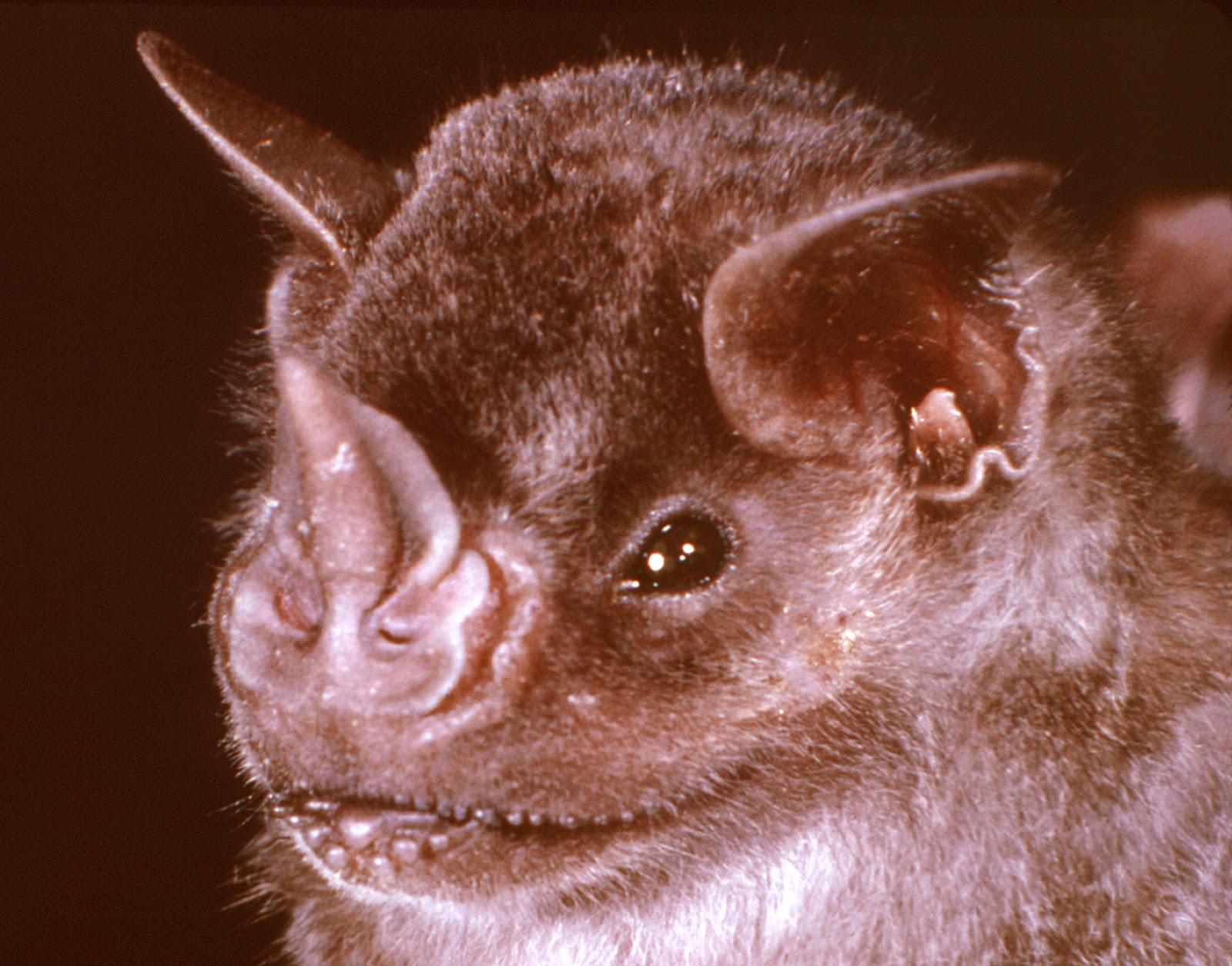 White nose syndrome in bats essay