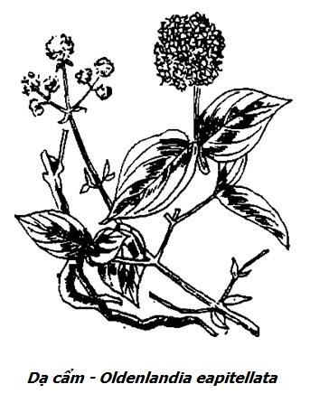 Hình vẽ cây Dạ cẩm - Oldenlandia eapitellata - Nguyên liệu làm thuốc Chữa Đau Dạ Dày