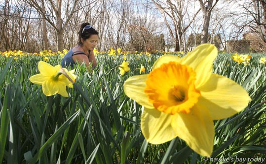 Silvi Waibel in the daffodil garden at Fullers Farm, Goulter St, Clive, the flowers will be sold for $3 a bunch - warm sunny weather on the last day of winter. photograph