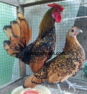 Ayam Batik Kanada Cokelat Gold Dewasa