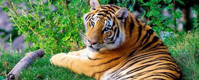 Khoa học xác nhận có 9 loài hổ trên Trái đất, 3 loài đã tuyệt chủng ảnh 2