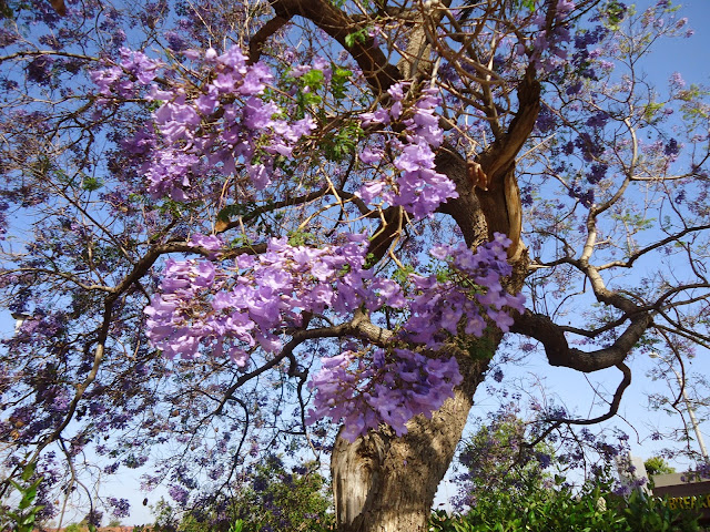 Glamorous beauty of violet flamboyant flowers in Da Lat city 2