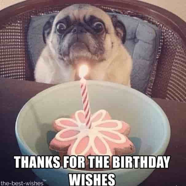 birthday pug memes thank you for birthday wishes