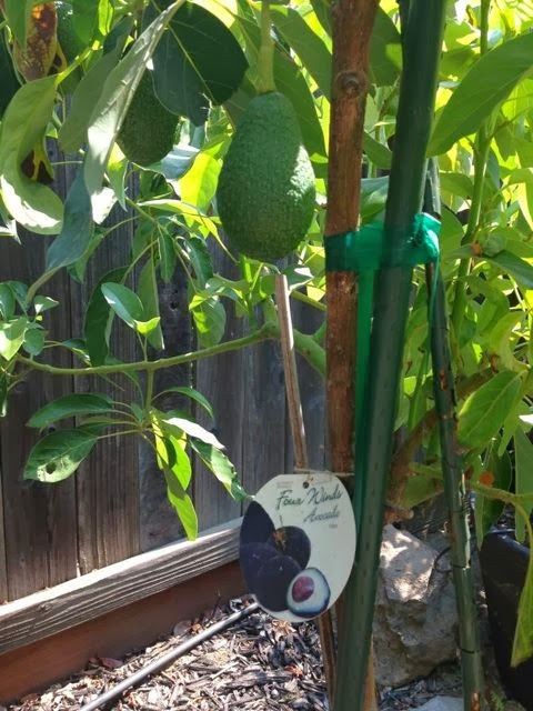 The Farmer Fred® Rant: Avocado Trees in Sacramento? Good Luck
