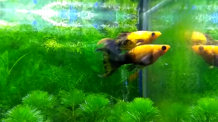 molly dalam akuarium aquascape