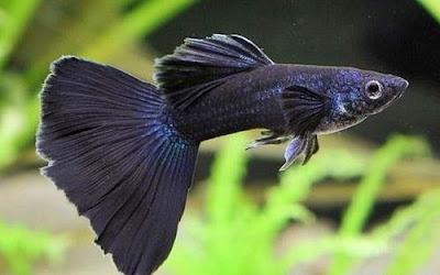 Gambar Ikan Guppy Black Moscow