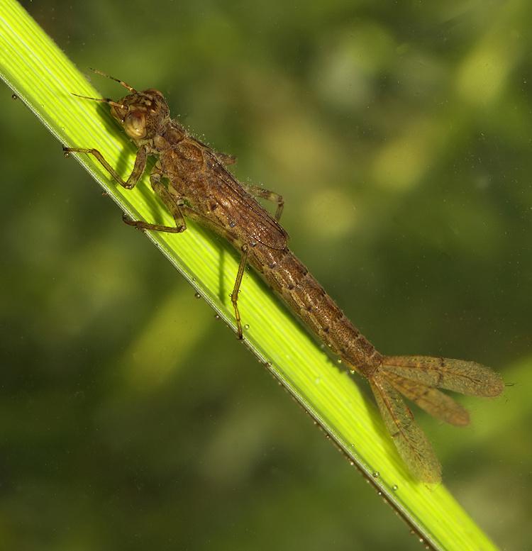 azure damsel flies fly - photo #49