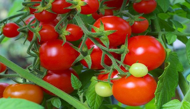 16 Manfaat Dan Khasiat Buah Tomat Yang Mengejutkan Arbamedia Com