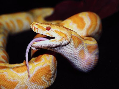 Reptiles Snake Normal Resolution HD Wallpaper 2