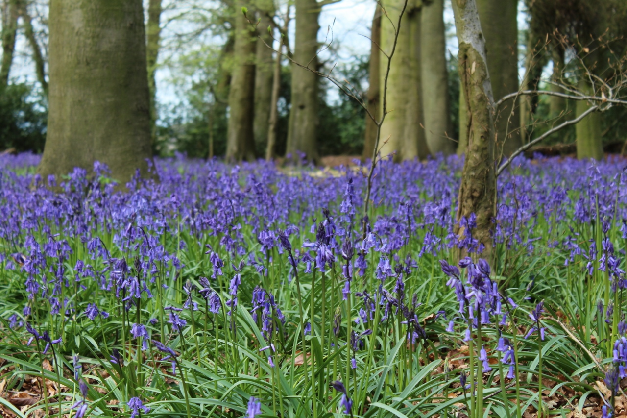 Bluebells at Nuffield Place