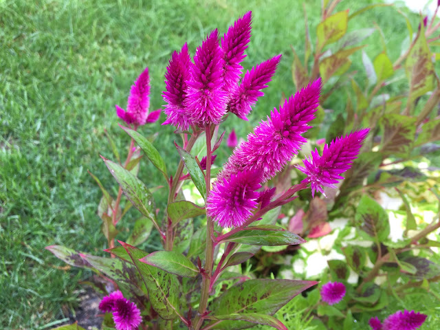 Celosia argentea var. spicata 'Flamingo Feather'