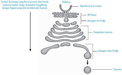 Aparatus Golgi dan hubungannya dengan nukleus, retikulum endoplasma dan lisosom