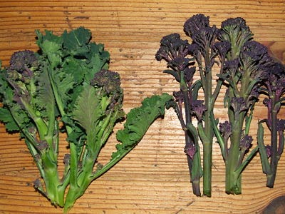 Wild cabbage sprouts next to purple sprouting broccoli sprouts