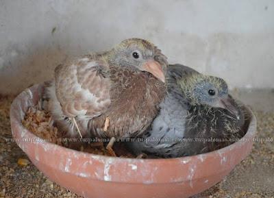 el sexaje de los pichones de paloma