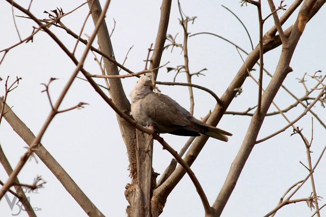 Red collared dove or Eurasian collared dove