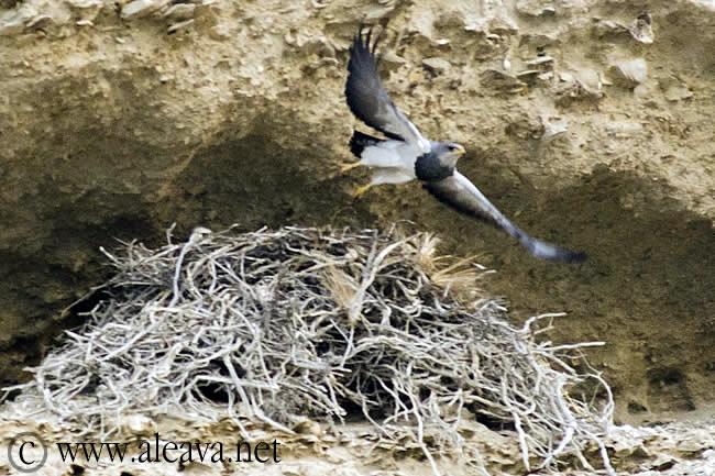 Aguila Mora en el nido, habita en todo américa del sur