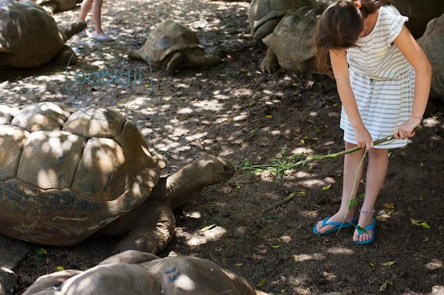 Tortue géante des seychelles nourrie par une fille à la Vanille Nature Park