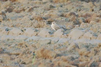 Canastera común (Glareola pratincola)