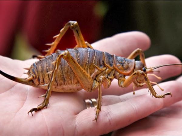 Íme a világ legnehezebb rovara
