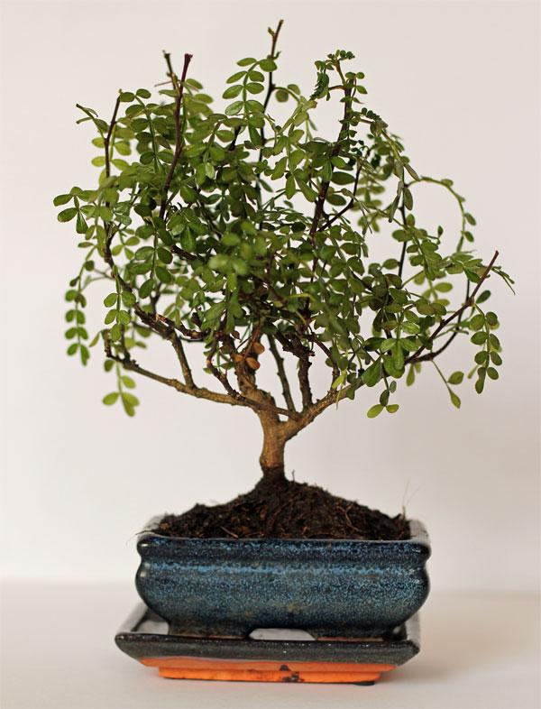 bonsai pflege bonsai pflege pfefferbaum bonsai bonsai pflege welche art von bonsai ist es und. Black Bedroom Furniture Sets. Home Design Ideas